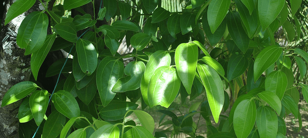 green leaves of a cinnamon tree